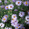 Symphyotrichum oblongifolium 'October Skies', Aromatic aster