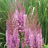 Astilbe chinensis 'Visions in Pink', False spirea, Chinese astilbe