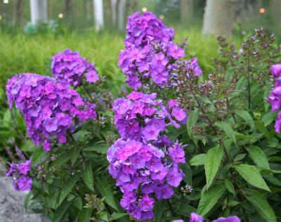 The Battery Plant Database Garden Phlox Phlox paniculata Blue