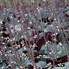 Heuchera  'Frosted Violet', Hairy Alumroot