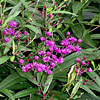 Vernonia noveboracensis, New York ironweed