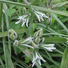 Ornithogalum nutans, Scented bells, Silver bells