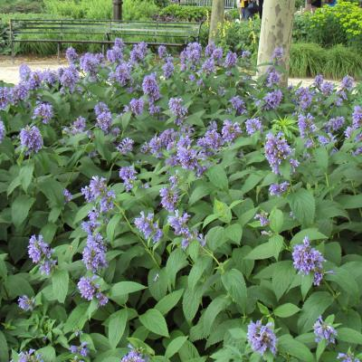 Showy catmint, Japanese catmint