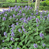 Nepeta subsessilis, Showy catmint, Japanese catmint