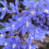 Chionodoxa sardensis, Turkish glory–of–the–snow