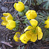 Eranthis hyemalis, Winter aconite