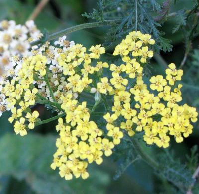 Yarrow Detail